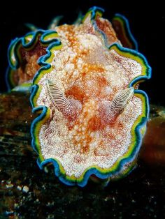 "trynottodrown: "" Nudibranch Photograph by Jeffrey de Guzman, My Shot The soft sea slugs known as nudibranchs have no shells and are defenseless from predators—or so it would seem. In fact the animals boast a toxic arsenal acquired by producing their. Underwater Creatures, Underwater Life, Ocean Creatures, Beautiful Sea Creatures, Life Under The Sea, Beneath The Sea, Sea Snail, Sea Slug, Deep Blue Sea"