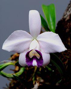 Laelia pumila coerulea 'SanBar Indigo' | Its the first & las… | Flickr