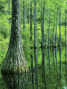 Bald Cypress, Apalachicola National Forest, Florida, USA Photographic ...