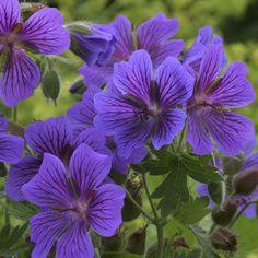 """Geranium """"Magnificum Rosemoor"""""""