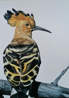 Hoopoe bird coloured pencil drawing.