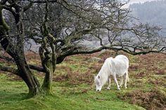 Elfish #Dartmoor #Pony #UK #England #Devon