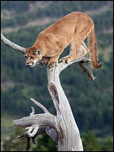 Puma In A Tree  Photo by Steve Tracy Photography on Flickr
