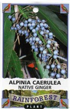 Alpinia caerulea Native Ginger Tree – A versatile plant for Aboriginal people.Th… - Modern