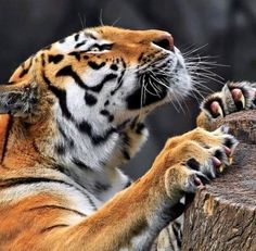 follow for more tigers