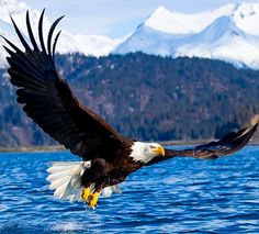 Eagle Images, Eagle Pictures, Bird Pictures, Pretty Birds, Beautiful Birds, Haliaeetus Leucocephalus, Nature Animals, Animals And Pets, Wildlife Photography