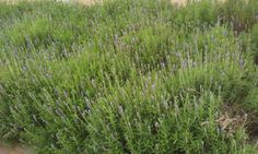 Lavender plant - How to grow & care Growing Lavender, Tea Plant, Season Colors, Herbalism, Garden Design, Herbs, Herbal Tea, Plants, Gardening