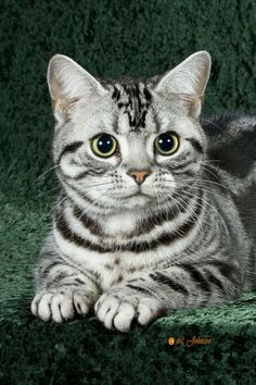 American shorthair cat life