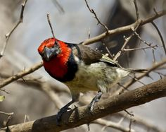 red headed barbet bird nesting - Google Search