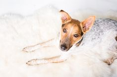 48_Dog_Portraits_Pet_photography_Denver_Studio-2236.jpg