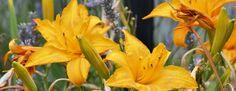 HEMEROCALLE et TRUFFE Quel est le lien entre l'hémérocalle et la truffe?  C est l'arôme :   les jeunes pousses d''hémérocalles révèlent des arômes de truffe blanche:Hemerocallisbuttercup Toutes les variétés n'ont pas de réel intérêt culinaire.  La cuisine japonaise utilise la fleur.( salades, beignets...)  La fleur d'hémérocalle adore la sauce tosazu et le carpacio de bar...  Les boutons peuvent entrer dans la composition des pickles.  Surveillez au pri