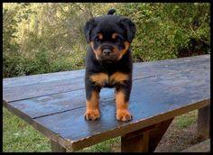 .so cute Rottweiler