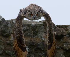 An Eagle Owl that saw me creeping up and flew at me from its perch on a wall - what a truly magnificent bird