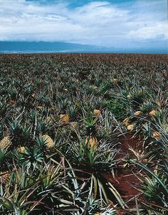 pineapples. photo by john kernick.  been there...in   HI....VERY VERY SWEET PINEAPPLES