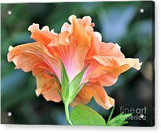 Posterior Tropical Beauty Acrylic Print by Diann Fisher