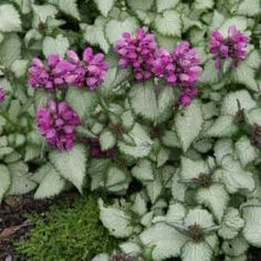 1000 images about garden dry shade plants on pinterest for Purple flower ground cover perennial
