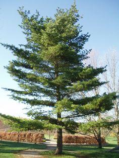 michigan s state tree white pine pinus strobus michigan novel