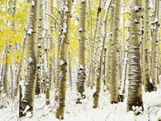 Aspen Grove in Winter Photographic Print by Darrell Gulin at AllPosters.com