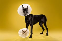 inside the plastic prison: ty foster photographs dogs in cones   #creative #installation #inspiration #paint #package #design #graphicdesign #designer #branding #picoftheday #like #follow #repost #art #installation #dog #cat #animals