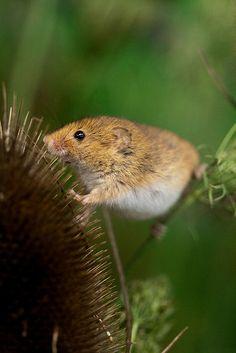 Harvest Mouse at the British Wildlife Centre by Sophie L. Miller, via Flickr