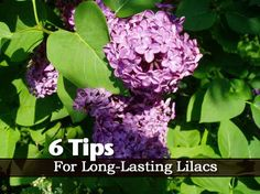 6 Tips for Long-Lasting Lilacs - With lilacs blooming in many areas of the country, what better time then now to make sure they stay blooming as long as possible. Horticultural expert Paul Parent shares 6 tips on caring for and getting the most out of your lilac.