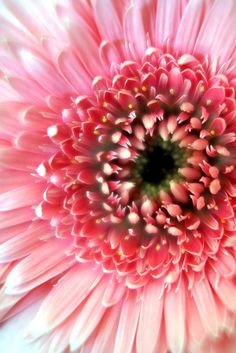 Lollipop Gerbera Daisy..soft pink loveliness