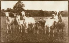 Ladies Goats – gum bichromate - Lidija Ivanek SiLa