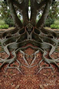 Is nature cool, or what? The Moreton Bay Fig tree is more than 160 years old. It is in Santa Barbara, California. Not sure if this is real or photoshopped, but it is amazing!The amazing symmetry of mother nature. ~via Save our green, FB. Art Et Nature, Science And Nature, Weird Trees, Unique Trees, Tree Roots, Tree Art, Land Art, Amazing Nature, Beautiful World