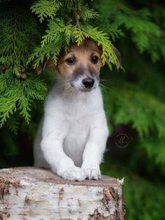 Jack Russell terrier in trees Cute Funny Animals, Cute Baby Animals, Animals And Pets, Cute Puppies, Cute Dogs, Dogs And Puppies, Doggies, Funny Dogs, Fox Terriers
