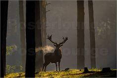 Uitademend Edelhert in het eerste zonlicht - Rotwild im Sonnenlicht - Red Deer in early sunlight by Erwin Maassen van den Brink
