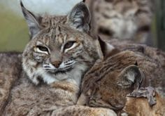 The Shambala Preserve presented by The Roar Foundation - Jazzy and Cassie - bobcats