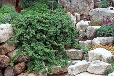 Juniperus procumbens'Nana' - Dwarf Japanese Garden Juniper