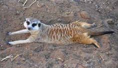 #meerkat #meerkats #animals #zoos #sun #relax #sunbathing #summer #stretching #buenosaires #argentina #southamerica #temaiken #temaikènbioparque #barryking #barrykingla #animalplanet #adorable #toocute #conservation #walking #hiking #exploring by barrykingla