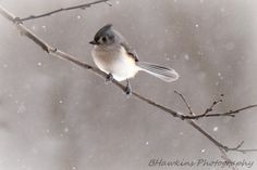 Tufted Titmouse by Brenda Hawkins  Via Flickr:  Tufted titmouse's are adorable, such little birds, with big eyes!