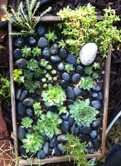 wine box with rosemary, ice plant, sedum, hens-n-chicks and black stones (Dragonfly Hill)