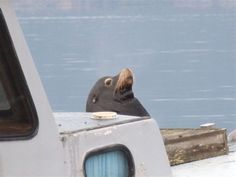 Sea Lion at Cowichan Bay - from the Images of Victoria Collection
