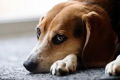 Beagle, Chien, Mignon, Des Animaux