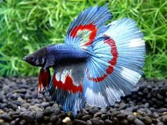Beautiful pale blue and red banded betta