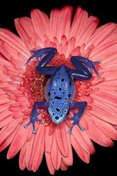 Blauwe kikker op een roze Grysant