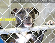 ***CODE RED - NEEDS A COMMITMENT HOLD BY 5:30 AM PDT SATURDAY, JULY 11, 2015*** DUPLICATE PICTURE OF A BEAUTIFUL 6 MONTH OLD MALE BRINDLE PIT BULL MIX WHO NEEDS A FOSTER/ADOPTER/RESCUE ASAP!!! Can you give this sweet boy a home?