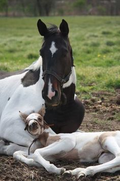 eq-queen:    This photo is from Blazing Colours Farm  Princess Vera and her foal MiraSaleen