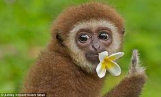 Meet Gollum The Adorable Dancing Gibbon Chimpanzee, Orangutan, Primates, Monkey Smiling, Pose For The Camera, Just Smile, Cute Babies, Cute Animals, Creatures