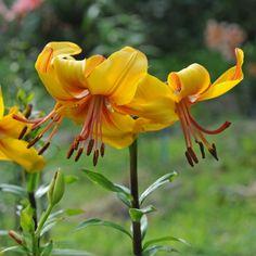Lilium Chocolate 'Canary' - aus schokobraunen Knospen entfalten sich kanariengelbe Blüten. Pflanzzeit für die Blumenzwiebeln ist im Winter - online erhältlich bei www.fluwel.de
