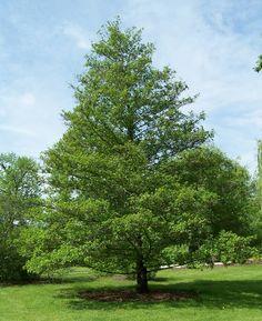 A la hora de diseñar un jardín, es preciso que nos planteemos cuántos árboles de sombra vamos a tener en él, ya sea como seto o ejemplar aislado. Afortunadamente, existe una gran variedad de árbole…