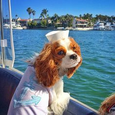 Kingsley and Sailor ♥ Puppies And Kitties, Cute Puppies, Doggies, Cavalier King Charles Dog, King Charles Spaniel, Dog Emoji, Funny Animals, Cute Animals, Dog Heaven
