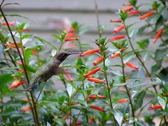 Cigar Plant (Cuphea ignea), evergreen shrublet, 1-2 ft. in height, compact, dense growth habit, bright red tubular flowers summer/fall, sun to part shade, best in rich well drained soil with ample water, good container plant, attracts hummingbirds