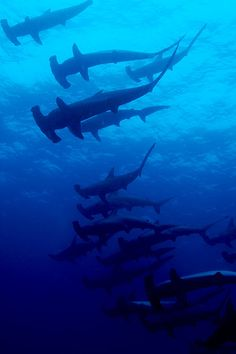 thelovelyseas:    schooling hammerhead sharks wolf island by Live_Adventurously1 on Flickr.