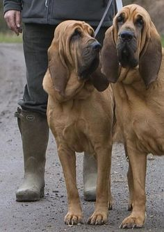 Bloodhound brothers.