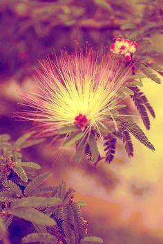 Transição de primavera A temperatura não está nem um pouco amena, apesar de estarmos em transição de estação. Ares da primavera agitam o jardim - brotos de flores, pequenos frutos pipocam em ritmos acelerados, gerânios e mimosas rosinhas, trepadeira que possui profusão de flores em tons róseos, belezas impecáveis; outrora devorados por  lagartas, ou será que foram as formigas ? Já se recuperam de suas nudezes aos poucos...