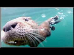 """""""Close Encounter With The Sea Otter""""... - YouTube"""